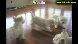West Highland Terrier, Puppies, For, Sale, In, Billings, Montana, Mt, Missoula, Great  Falls, Bozema