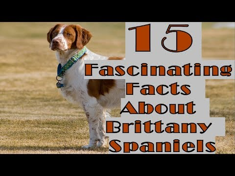15 Fascinating Facts About Brittany Spaniels