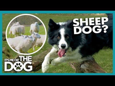 Champion Border Collie Sheepdog  | Britain's Favourite Dogs