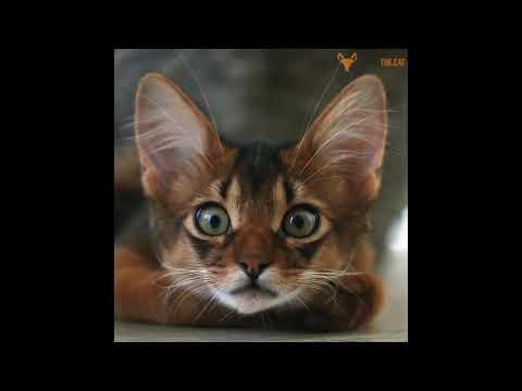 CATVLOG #12 SOMALI CAT || IG: ERROL THE CAT || CATS OF INSTAGRAM