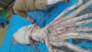 Гигантский кальмар напугал японских рыбаков(новости)