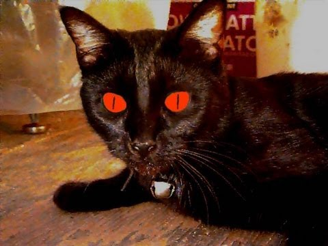 Demon Cat - YouTube Demented Animals