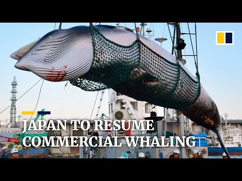 Japan To Resume Commercial Whaling After More Than 30 Years