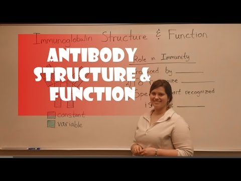 Antibody Structure & Function