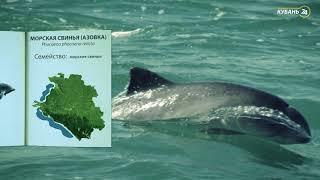 «Красная книга Кубани». Морская свинья