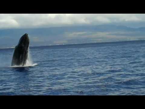 "Alii Nui  Whale Watch ""Breach"""