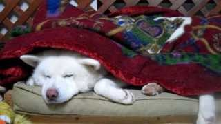【秋田犬げんき】夜は寒いのでちゃんと毛布を掛けてください【akita dog】 thumbnail
