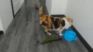 Кот боится огурцов. Funny cats S01E04 | MADS