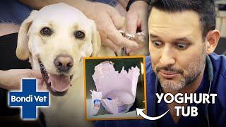 Greedy Labrador in Danger From Eating Plastic Yoghurt Container | Full Episode | Bondi Vet