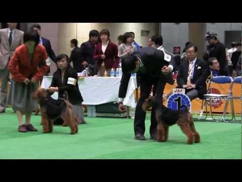 Welsh Terrier FCI Japan international dog show 2012