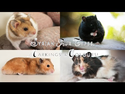 Syrian Hamster Fur Types, Markings & Colours!
