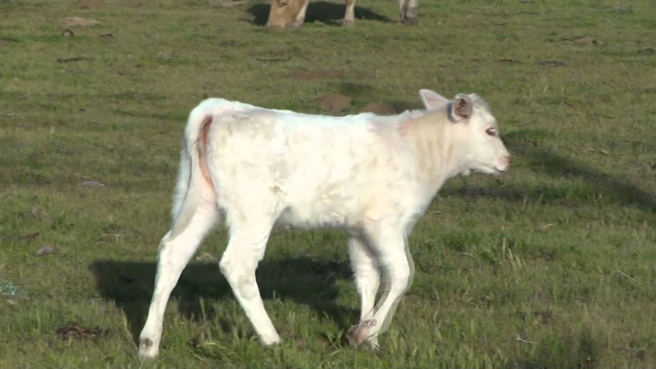 Baby Cows Super Cute YouTube