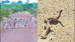 Lion Roadblock and Baby Jackals Playing