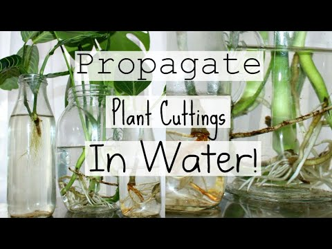 How To Propagate Houseplants From Cuttings | How To Water Propagate Indoor Plants