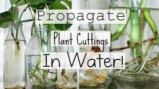snake plant propagation time