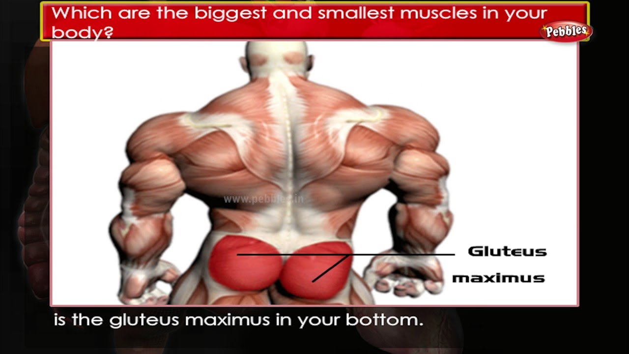Human Body Facts : Muscles | Human Body Parts and Functions | Human ...