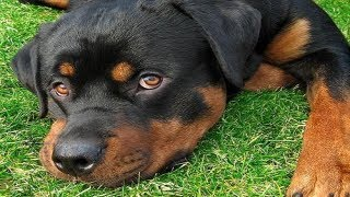 The Full Story: Hawthorne Police Department Kill Rottweiler Dog In Front Of Owner. Excessive Force?
