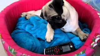 PUG  Bóris Antonio e o telefone