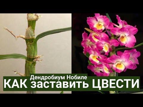 орхидея ДЕНДРОБИУМ после цветения и КАК ЗАСТАВИТЬ ЦВЕСТИ Dendrobium nobile