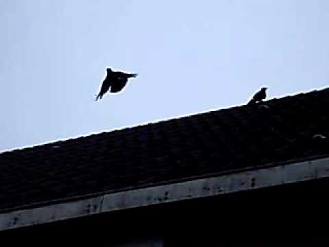 Alarm calls Eurasian Jackdaws (Coloeus monedula)
