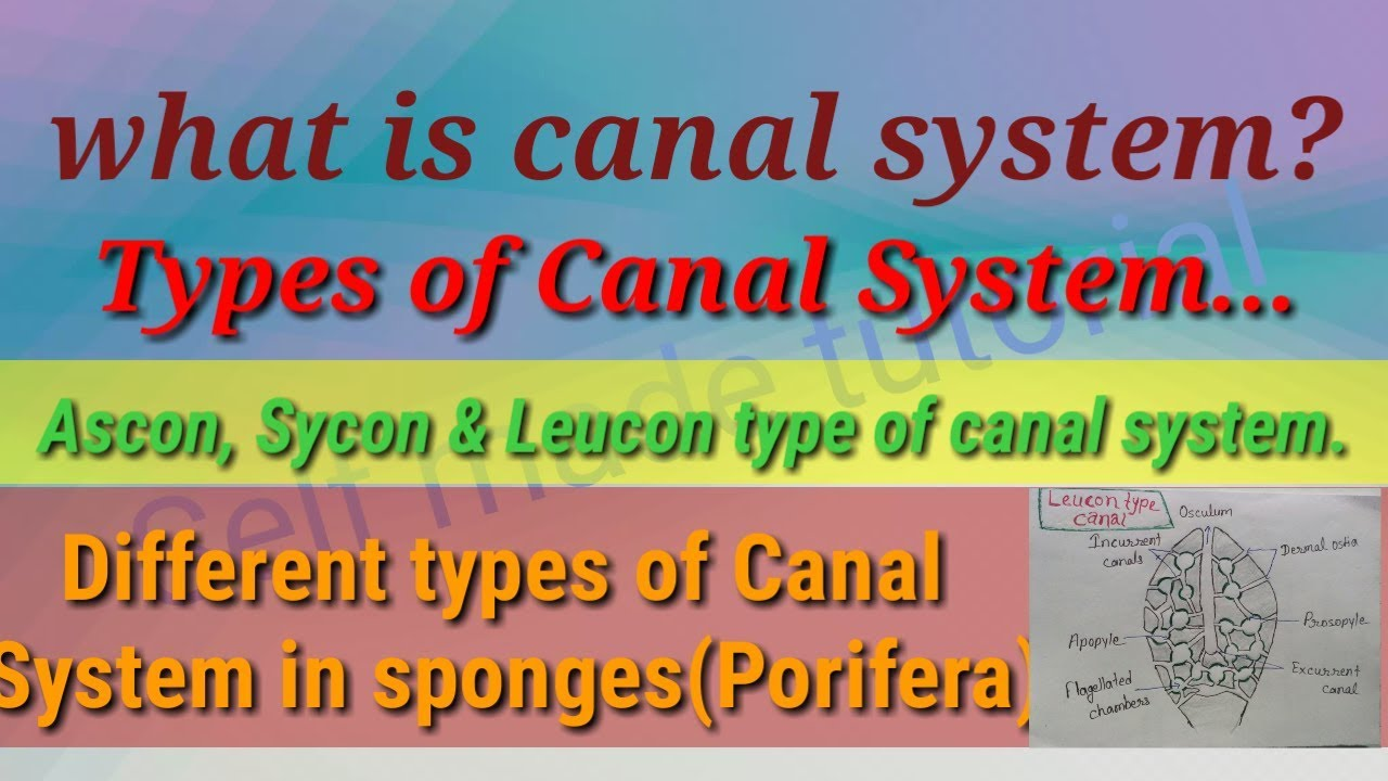 canal system in porifera