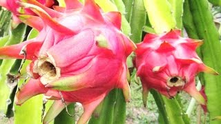 Amazing PITAYA DRAGON FRUIT Trees Plantation - Perkebunan Tanaman BUAH NAGA [HD]