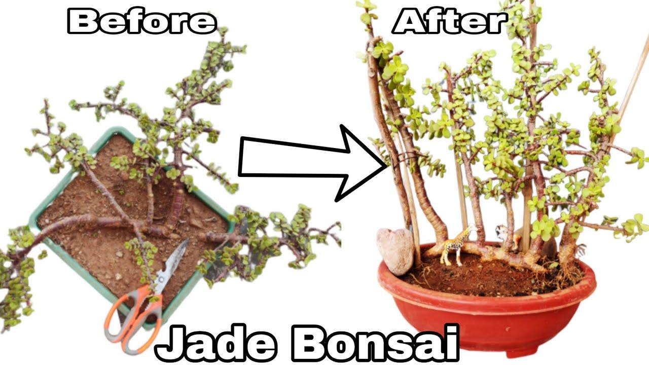 How To Make Jade Bonsai Jade Bonsai Raft Style Bonsai Making Youtube