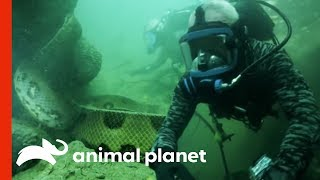 Face-to-Face with a 20-Foot, Monster Anaconda | River Monsters(When Jeremy Wade dives to murky depths hunting a slithery predator, he immediately realizes he could instantly become the hunted. See him come face-to-face ..., 2014-05-27T13:00:03.000Z)