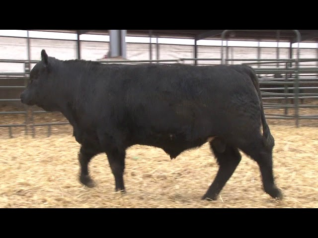 Schiefelbein Angus Farms Lot 350