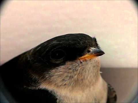 Junge Mehlschwalbe (Delichon urbicum) - Einfach goldig