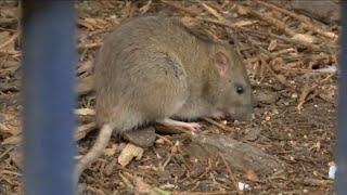 CDC warns of ravenous rats