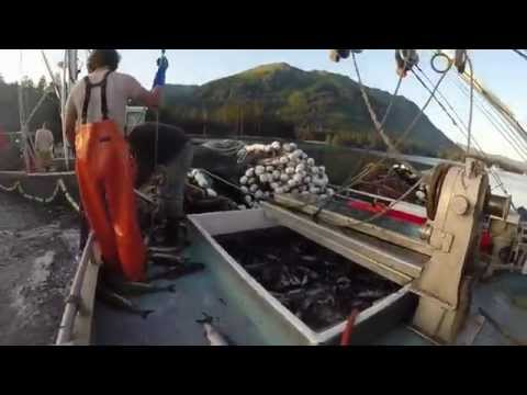 Lower Cook Inlet Seining