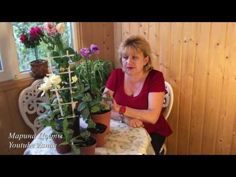 ЭУСТОМА(ЛИЗИАНТУС)-Мой опыт и мои советы выращивания.