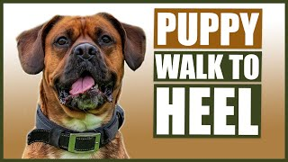 BOXER PUPPY HEEL TRAINING! How To Train Your Boxer Puppy To Walk To Heel!