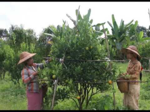 Happy Agri in Golden Land (Episode 30 - Orange)
