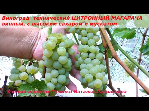 Виноград технический, винный ЦИТРОННЫЙ МАГАРАЧА (Пузенко Наталья Лариасовна )