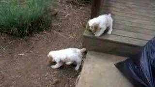 8 Week Old Cocker Spaniel Puppies Playing Outside