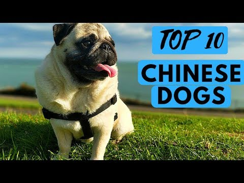 TOP 10 Chinese Dog Breeds