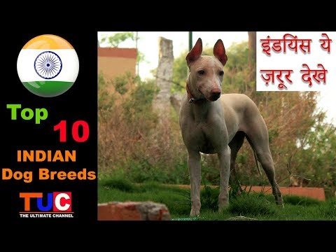 Top 10 INDIAN Dog Breeds : Dog Information : TUC : The Ultimate Channel