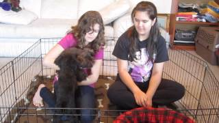 Island Miniature Schnauzers - Puppy Training
