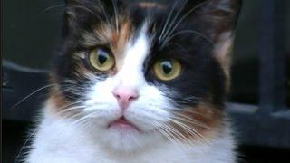 保護した猫の様子が嬉しそうで泣けた うちの猫とご対面③(三毛を助けたい) thumbnail