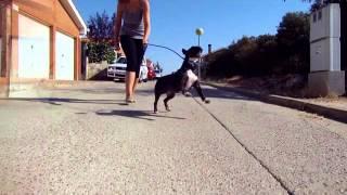 Entrenamiento Show Bull Terrier Miniatura