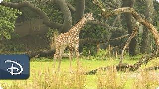 Jabari the Giraffe Calf Joins the Herd at Disney's Animal Kingdom