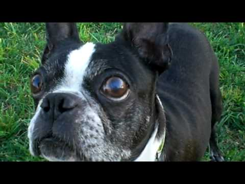 frenchbulldog boston terrier french bulldog and boston terrier playing ball youtube 6461