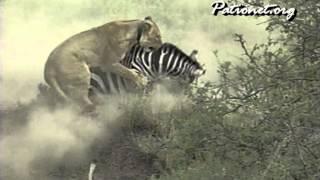 シマウマを追いたてる先には子どもたちが 母ライオンがたてた頭脳作戦 ...