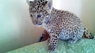 Дальневосточный леопард Милаша.