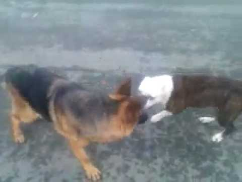 Dog Fight Pitbull Bandog vs German Shepherd - YouTube