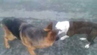 Dog Fight Pitbull Bandog Vs German Shepherd