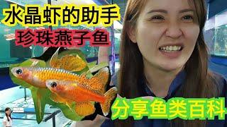 水晶虾缸里面养鱼橘子霓虹珍珠燕子吃虫微生物涡虫Shrimp Tank with Fish together Red Neon Rainbow Fish Reduce Planaria and worm