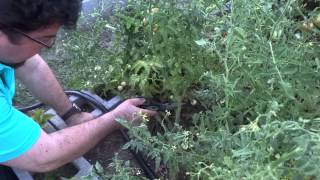 Having Trouble Growing Tomatoes in Your Vegetable Garden?